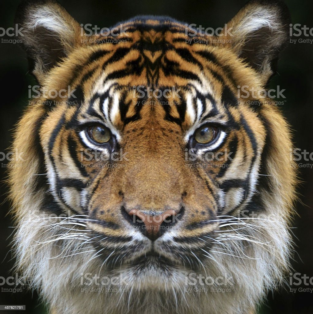 Tiger Face on Black Background stock photo
