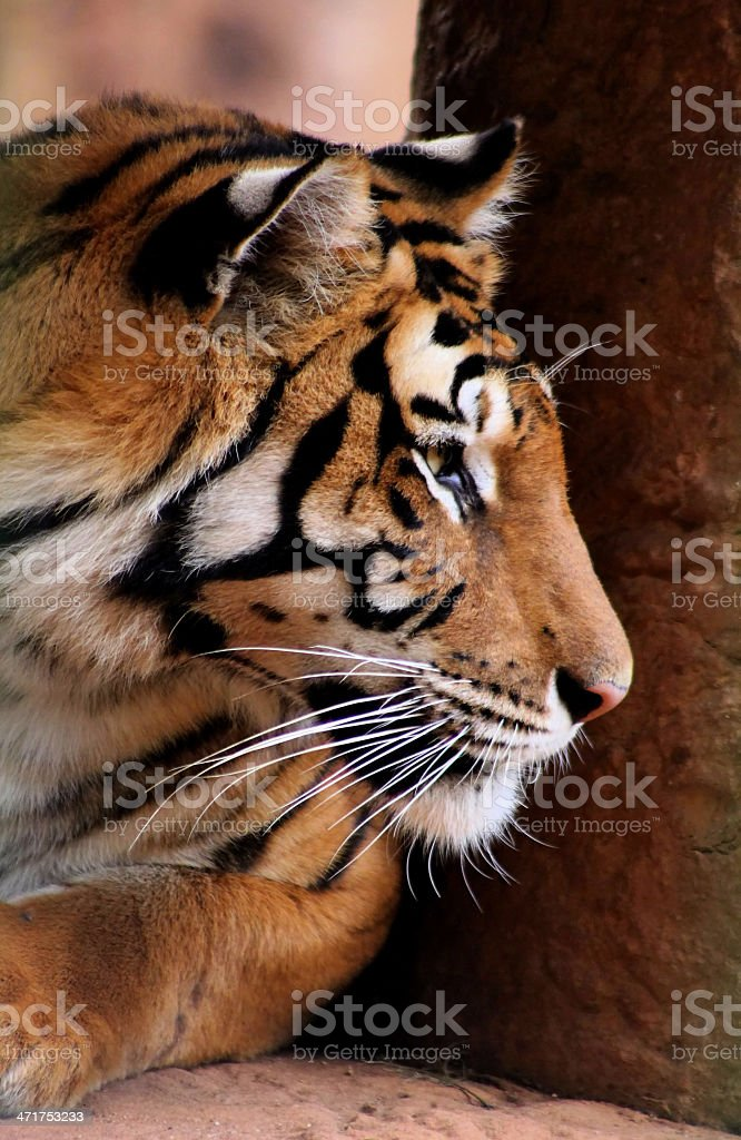 Tiger Face Side Profile royalty-free stock photo