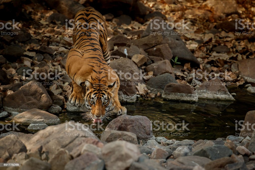 Tiger female drinking water stock photo