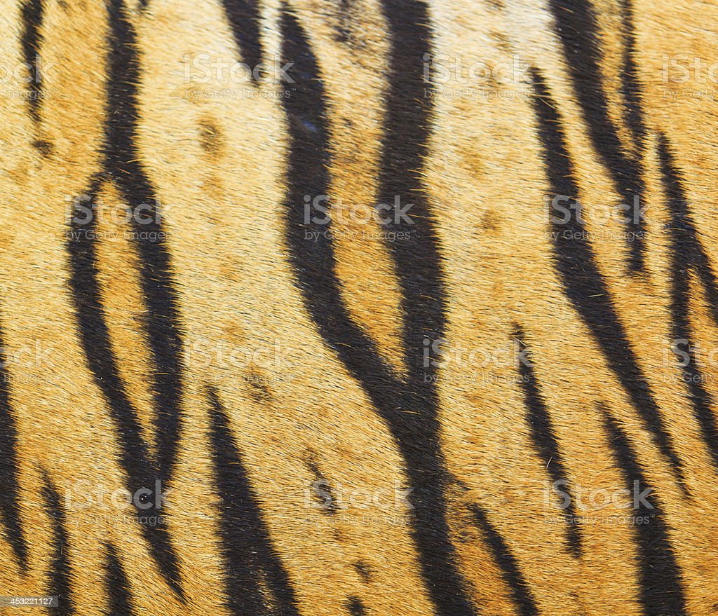 tiger fur and  skin royalty-free stock photo