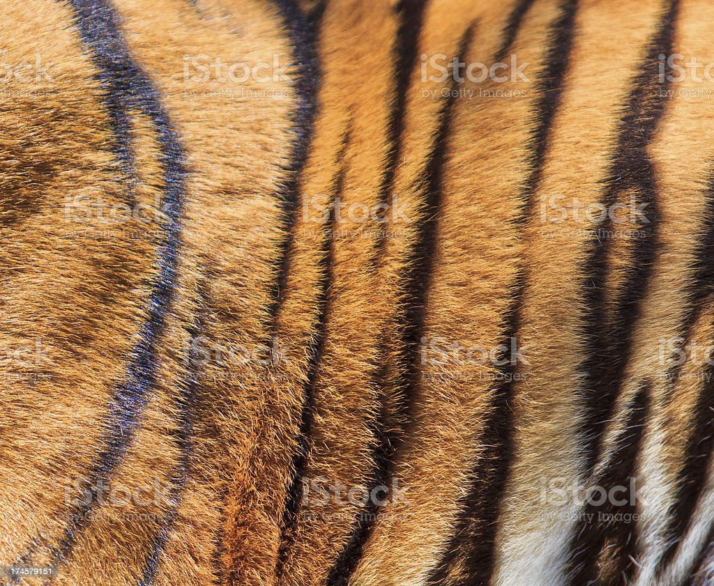 tiger fur royalty-free stock photo