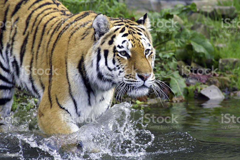 Tiger goes into the water royalty-free stock photo