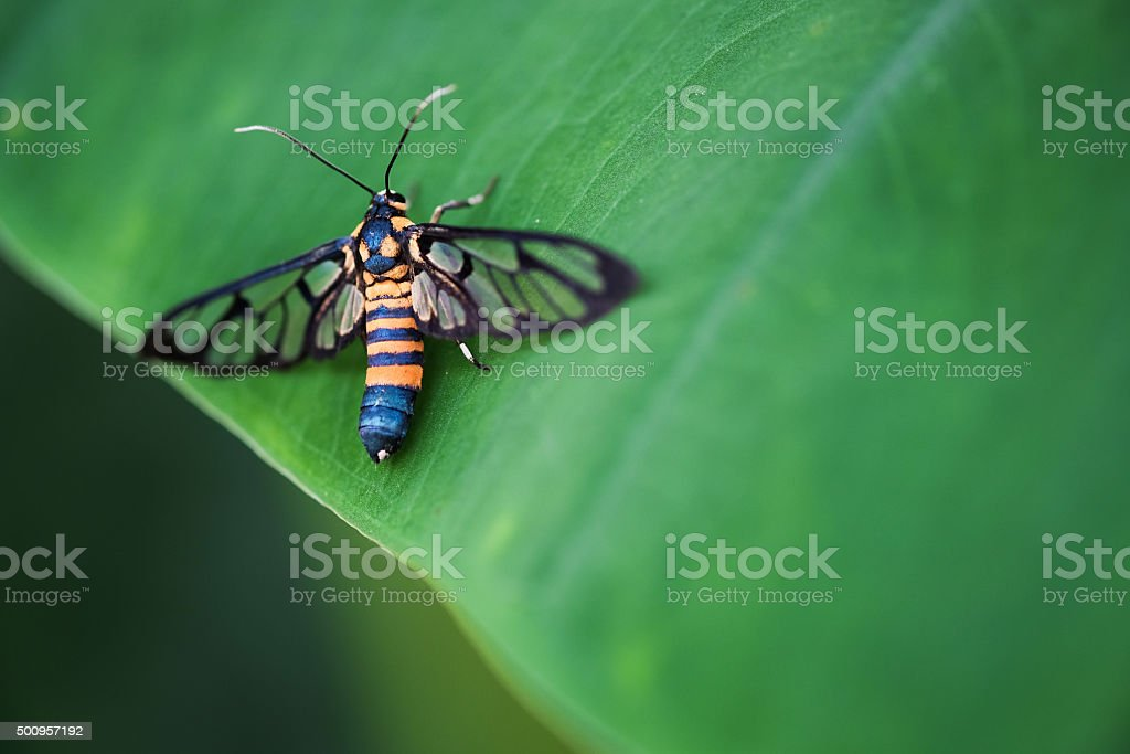 Tiger grass borer moth (wasp moth) on a leaf stock photo