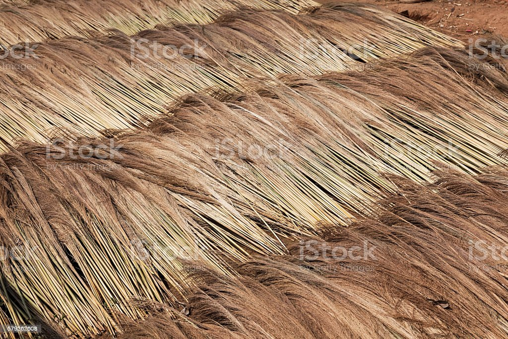 Tiger grass for broom manufacturing stock photo