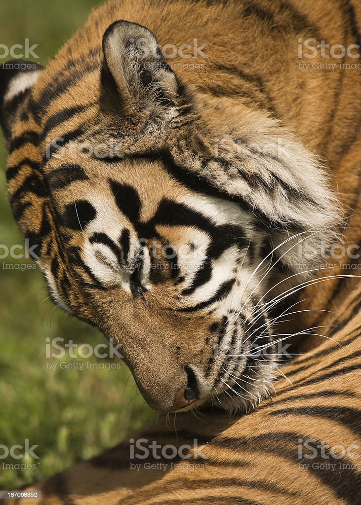 Tiger grooming royalty-free stock photo