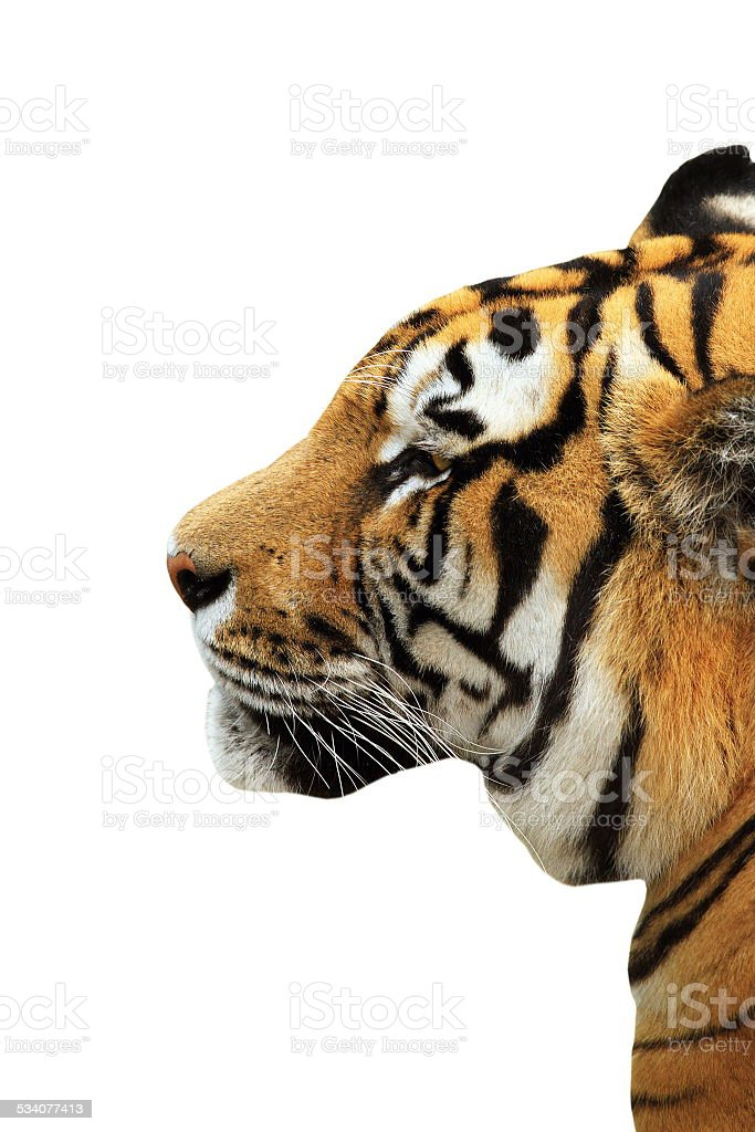tiger head isolated over white stock photo