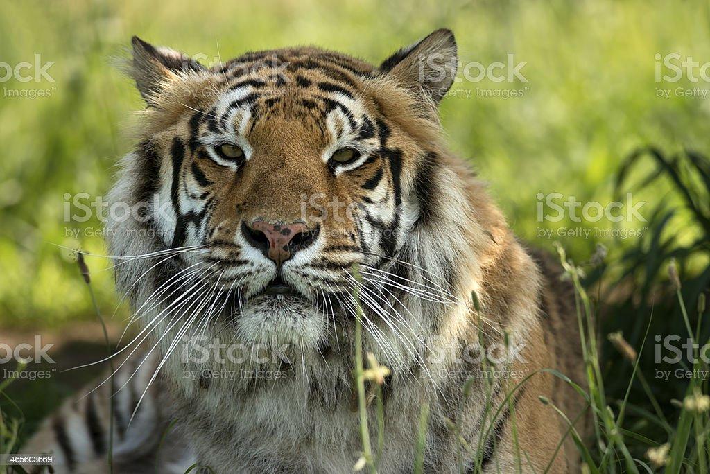 Tiger head royalty-free stock photo