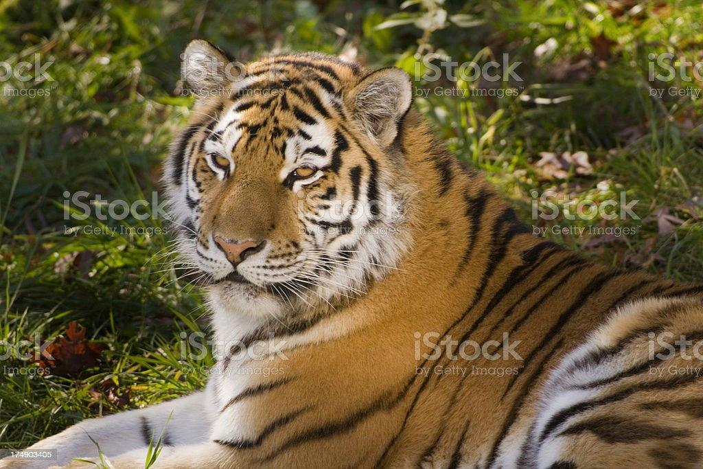 Tiger Hz royalty-free stock photo