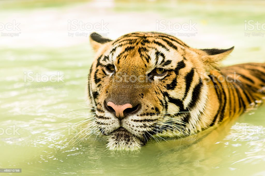 Tiger immersed in water stock photo