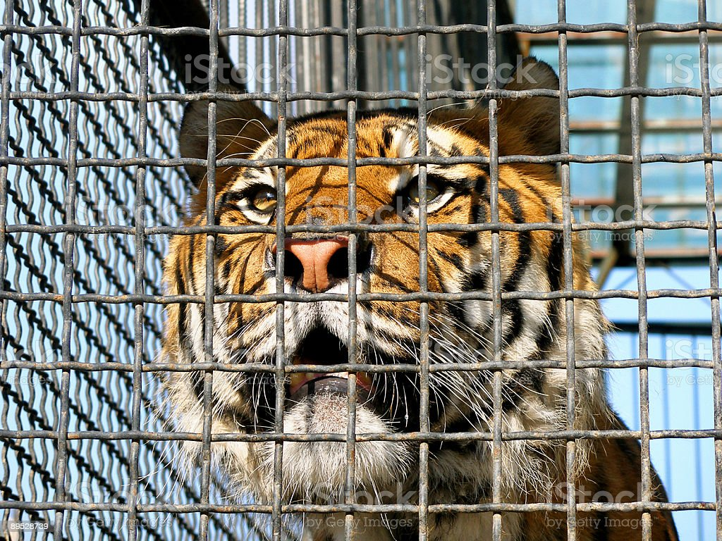 Tiger in cage royalty-free stock photo