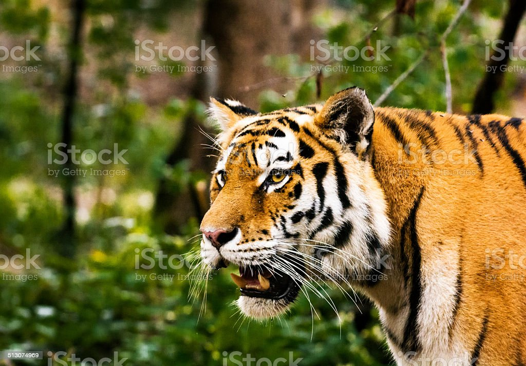Tiger in forest (high ISO image) stock photo