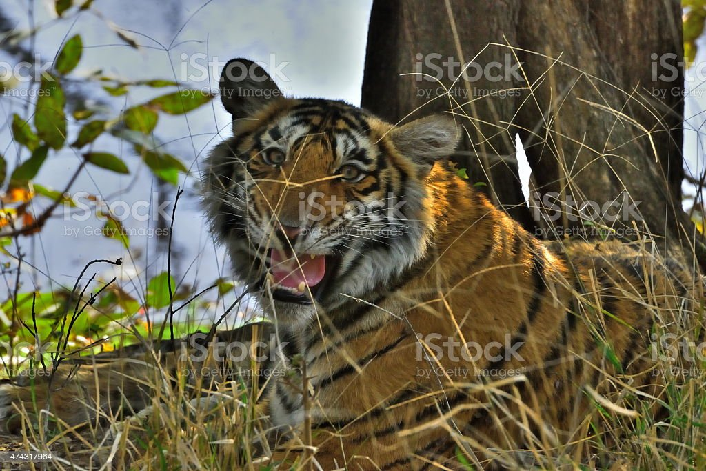 Tiger in Ranthambore National Park stock photo