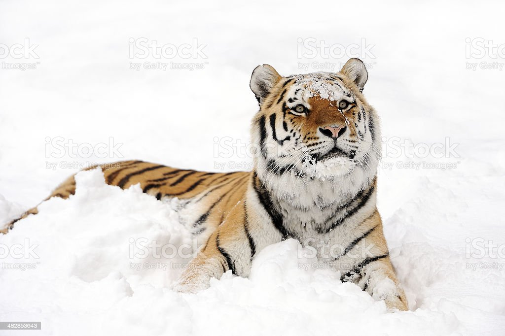 tiger in snow stock photo
