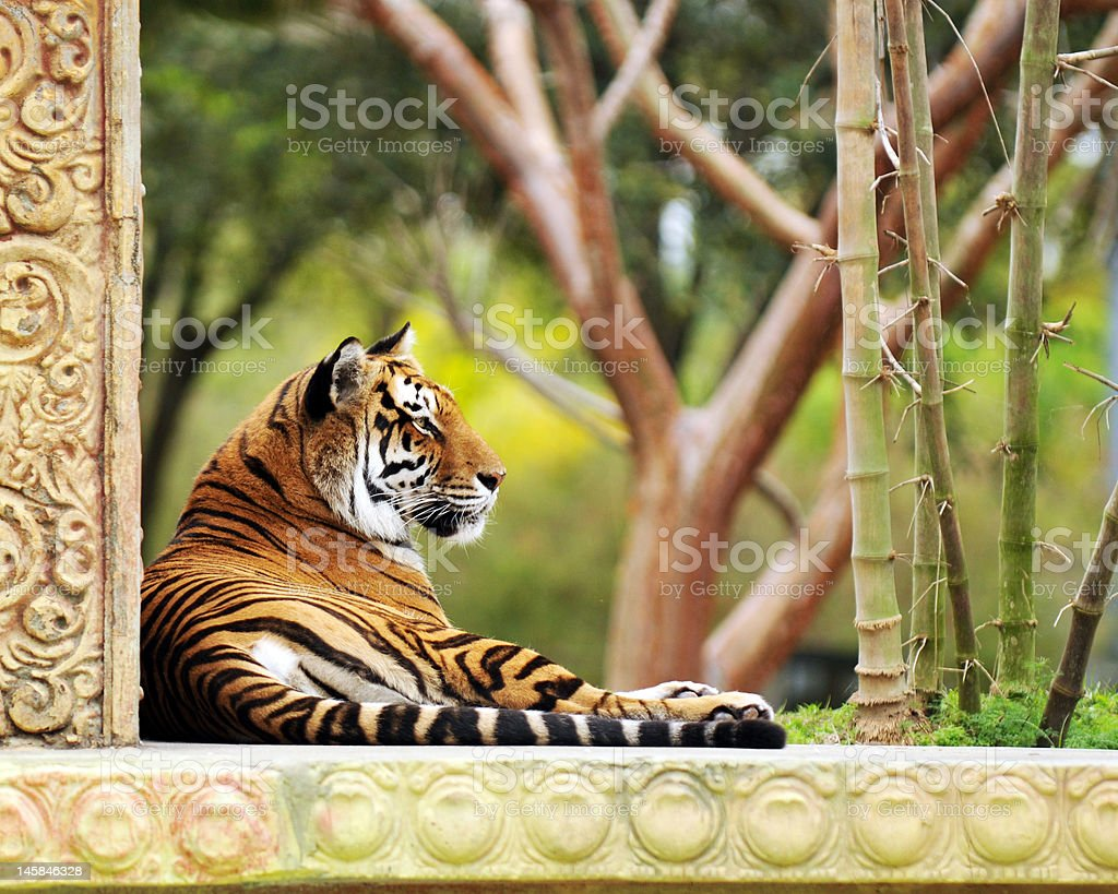 Tiger in the Garden royalty-free stock photo