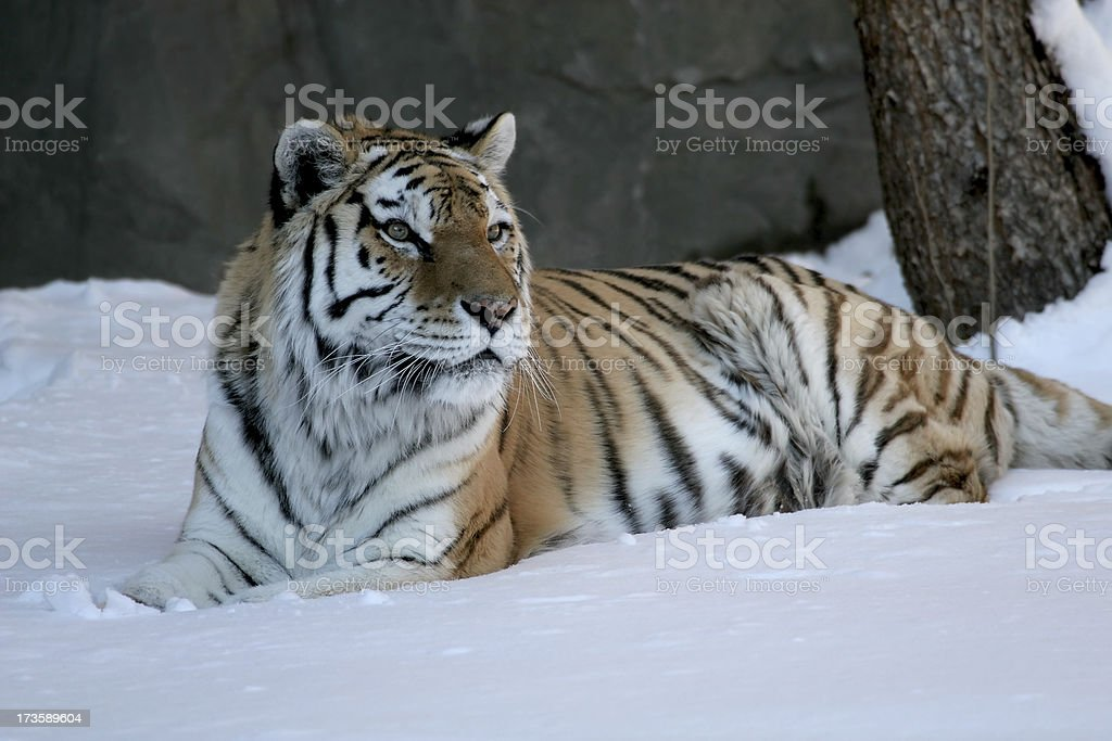 Tiger in the Snow royalty-free stock photo