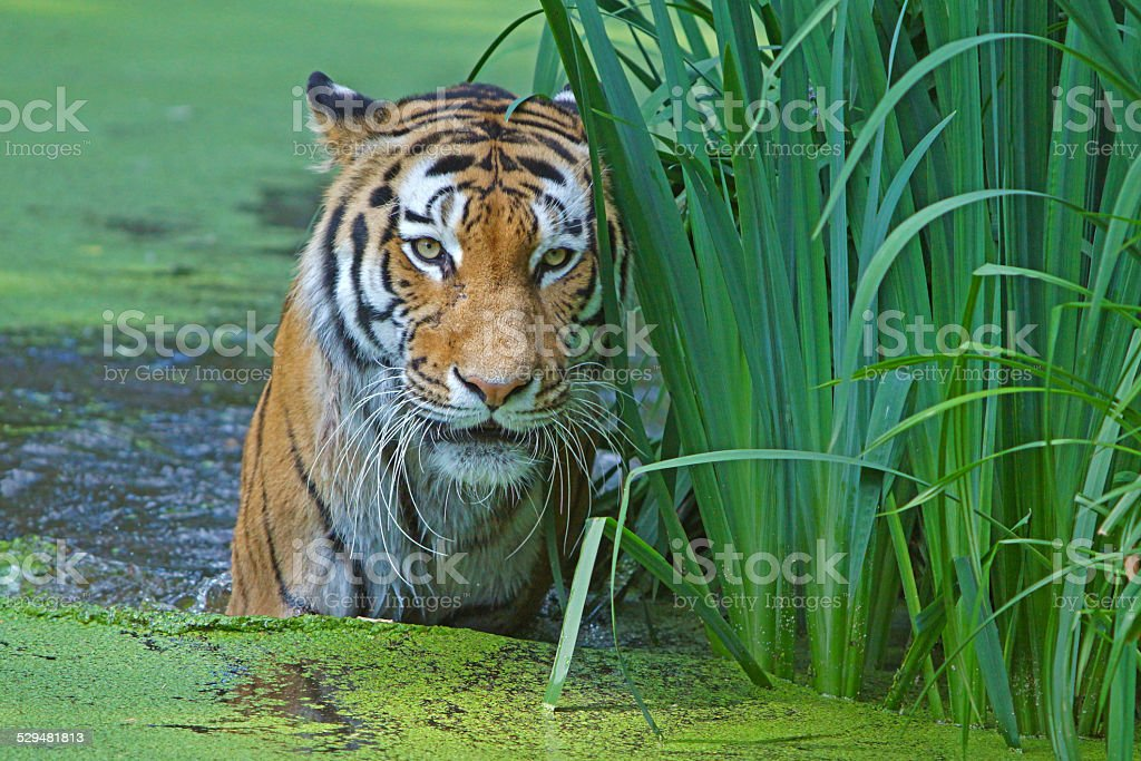 Tiger in the water stock photo