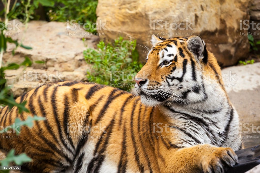 Tiger in the wild stock photo