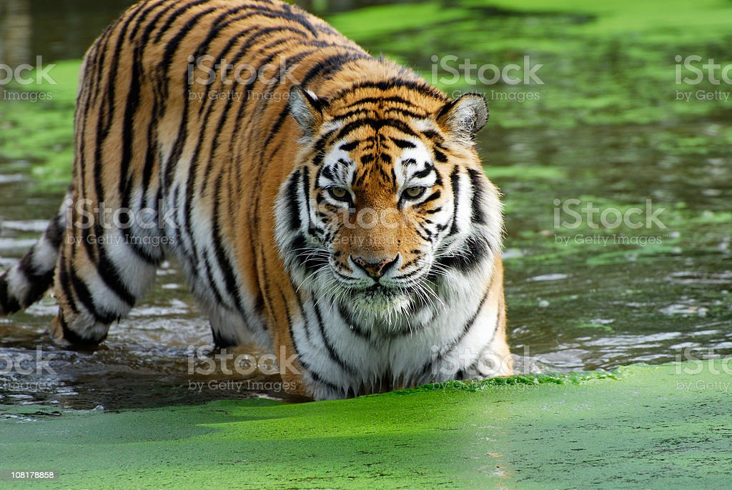 Tiger in Water royalty-free stock photo