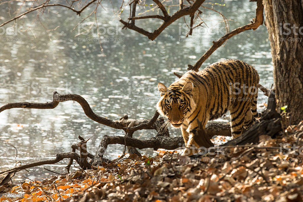 Tiger is walking along a lake stock photo