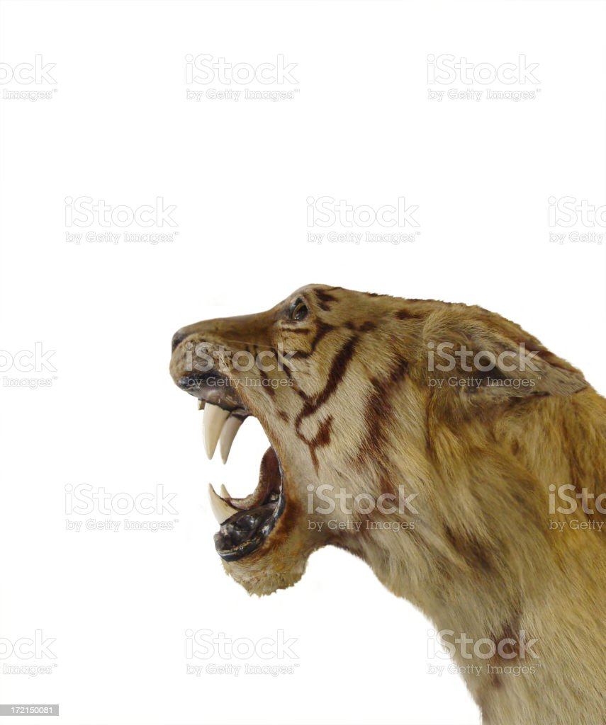 Tiger - isolated royalty-free stock photo