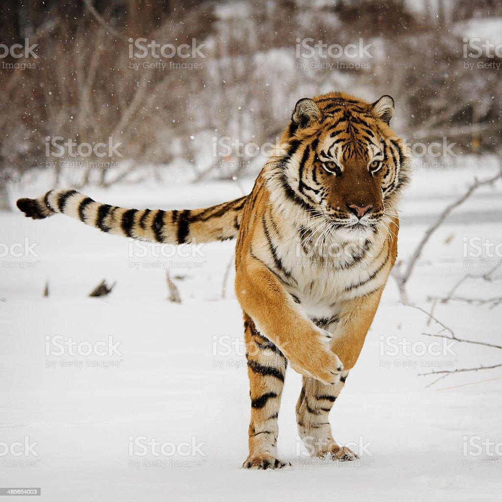 Tiger Jumping stock photo