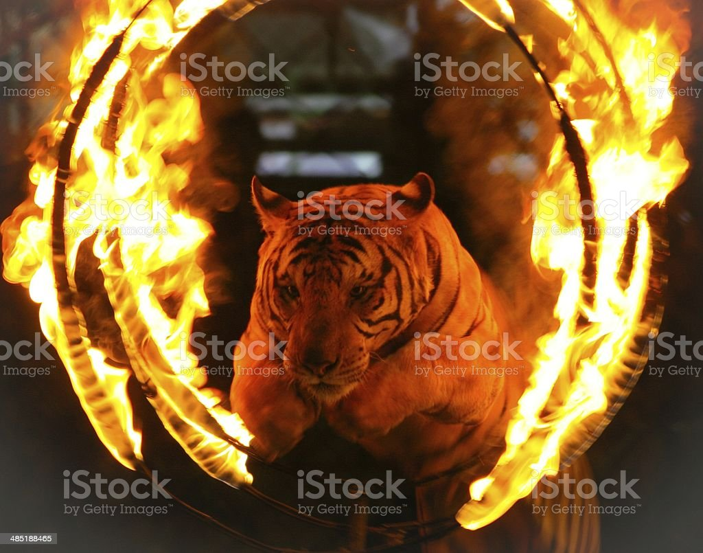 Tiger jumping through ring of fire stock photo