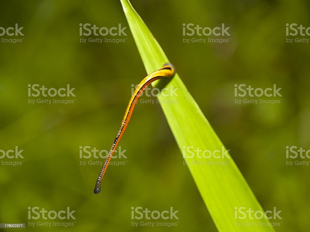 Tiger leech royalty-free stock photo