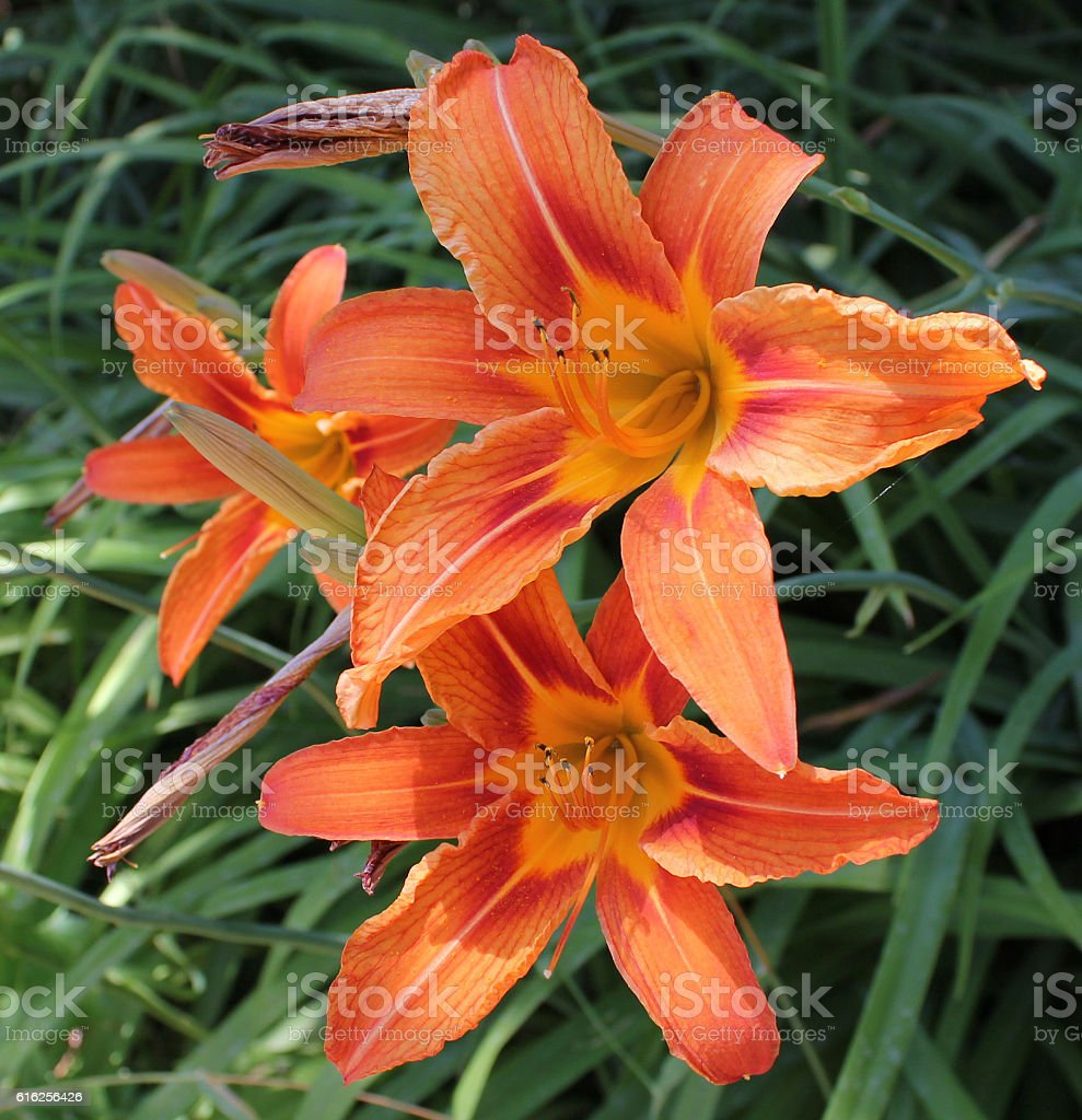 Tiger Lilies stock photo