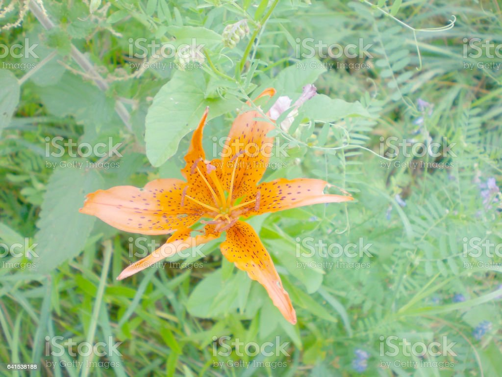 Tiger lily flower grows on a bed, summer, Moscow region stock photo