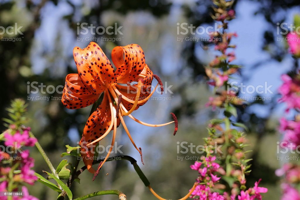 Tiger lily in the sunshine stock photo