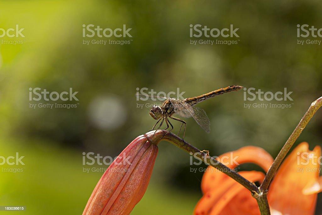 Tiger Lily (Lilium lancifolium) stock photo
