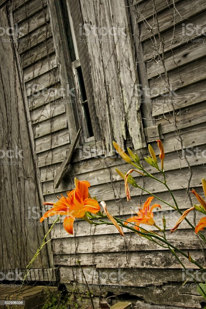 Tiger Lily stock photo