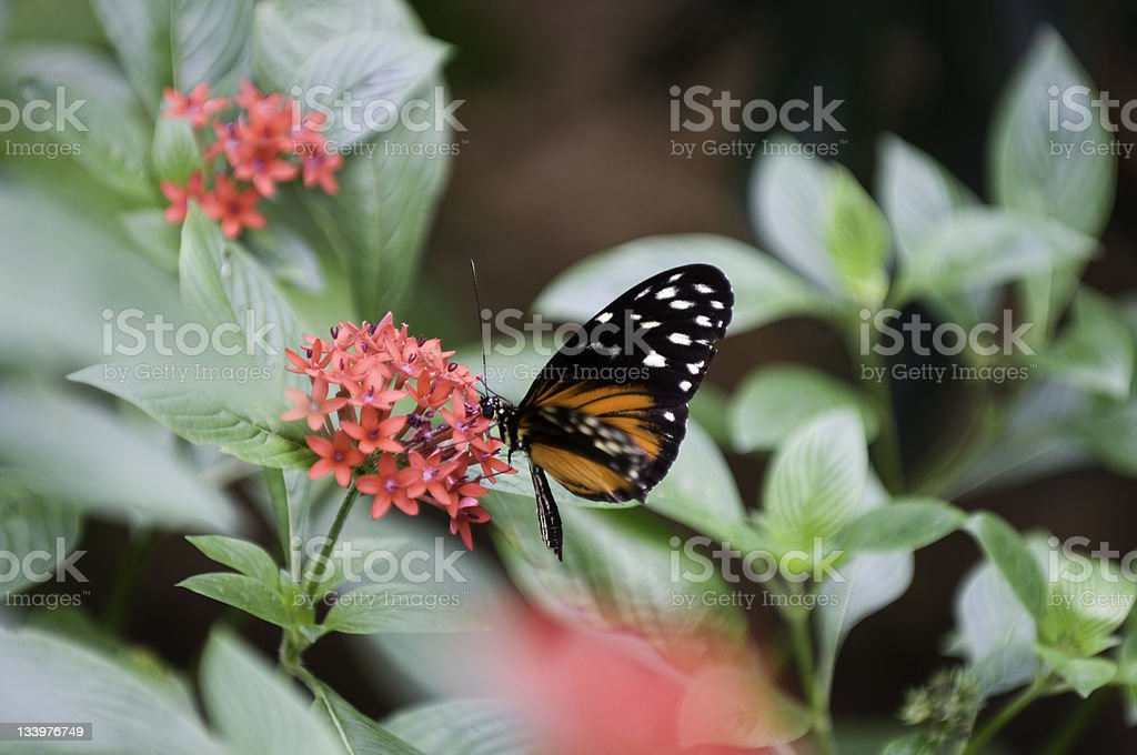 Tiger longtail butterfly stock photo
