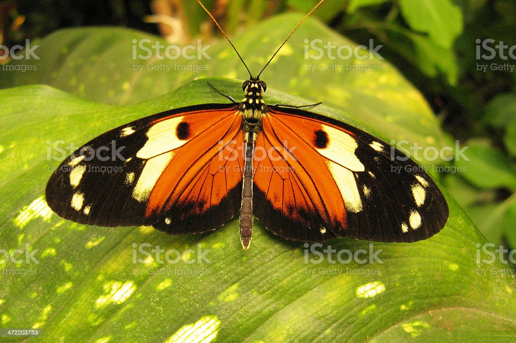 tiger longwing butterfly  Heliconius ismenius tilletti stock photo