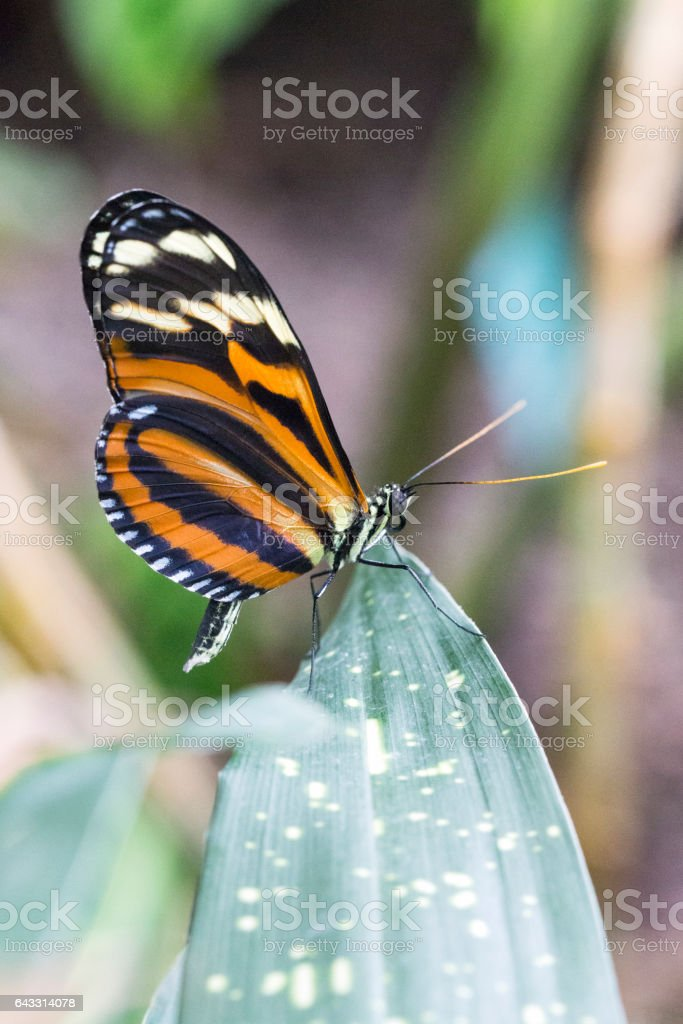 Tiger Longwing Butterfly stock photo