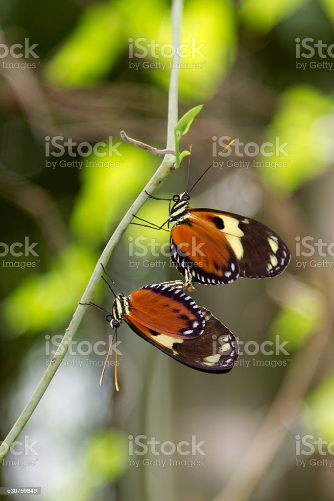 Tiger Longwing Butterfly's Mating stock photo