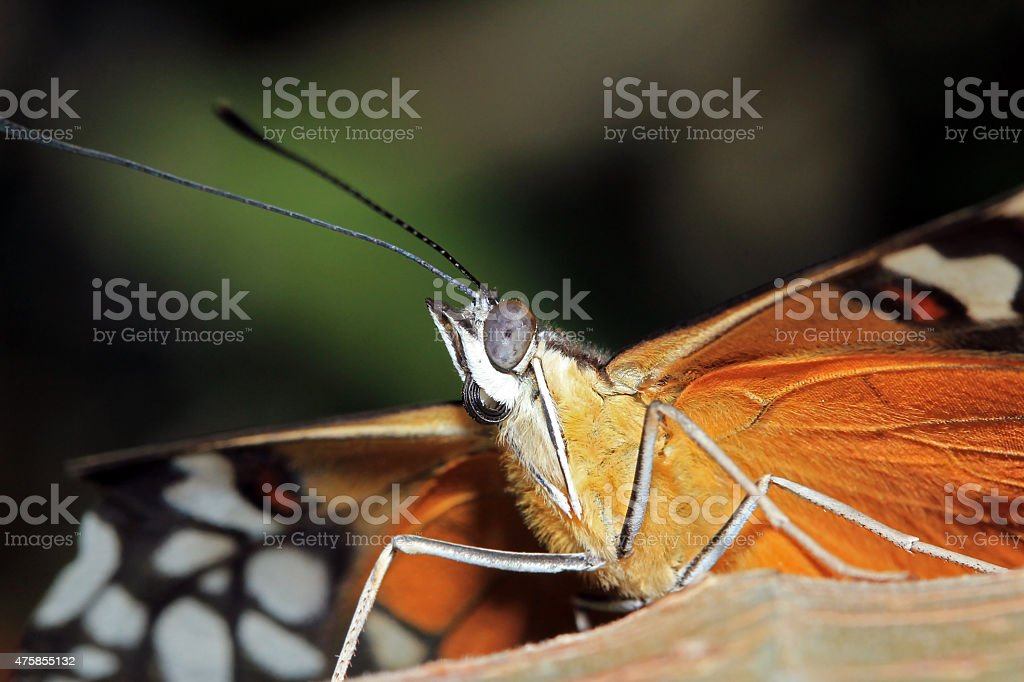 Tiger Longwing stock photo