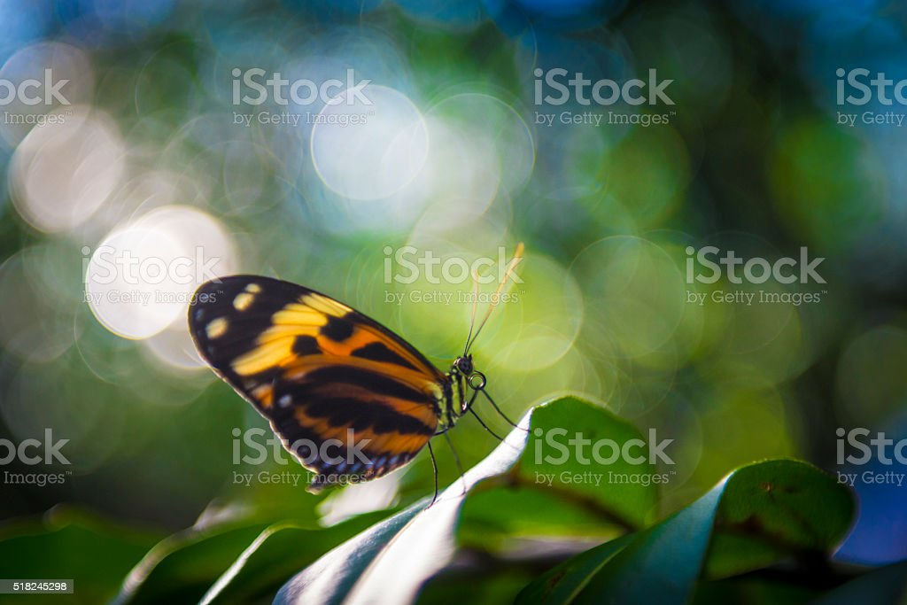 Tiger Longwing (Heliconius hecale) stock photo