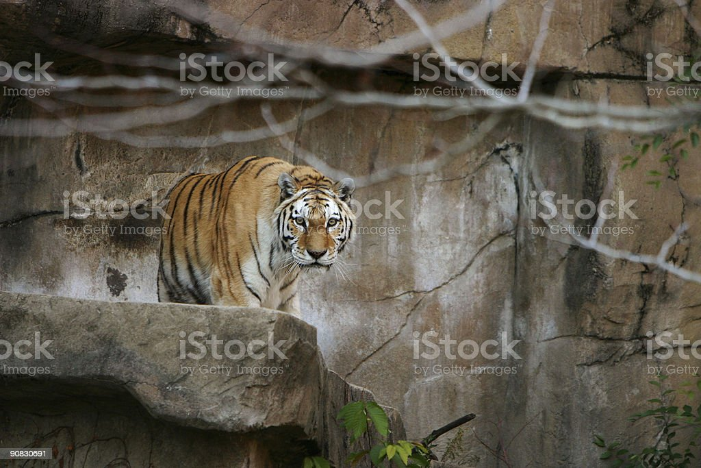 Tiger look royalty-free stock photo