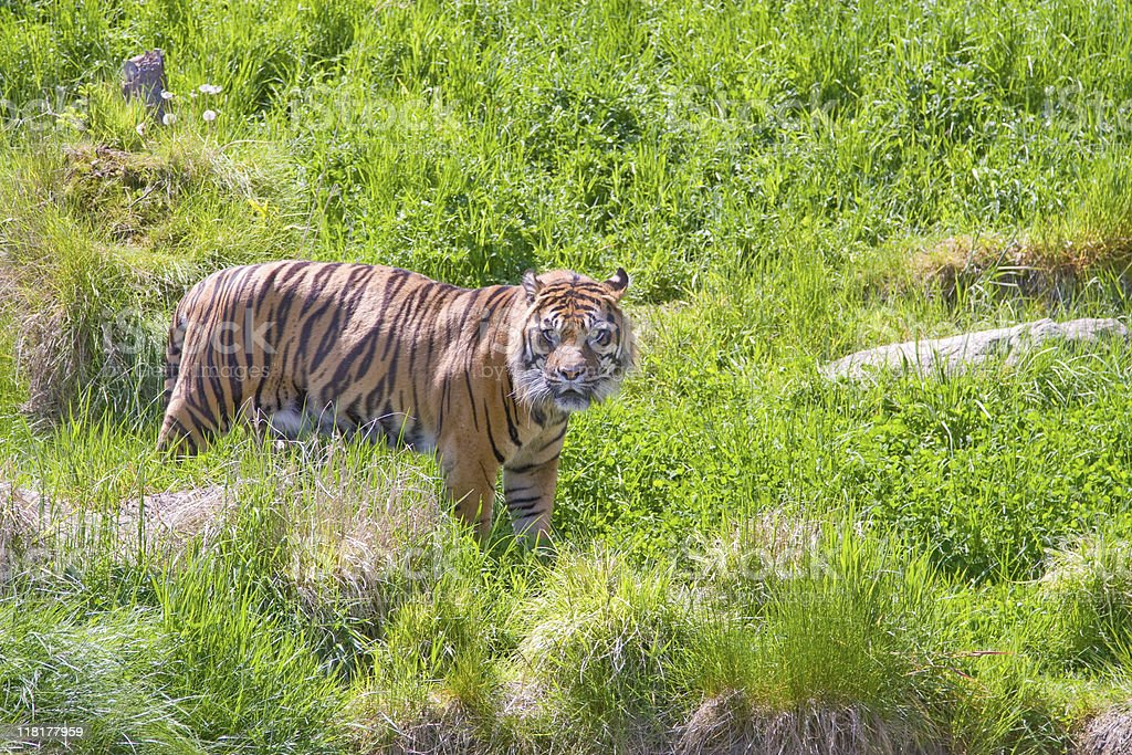 Tiger looking in your direction stock photo