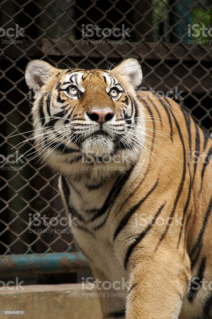 Tiger looking up. stock photo
