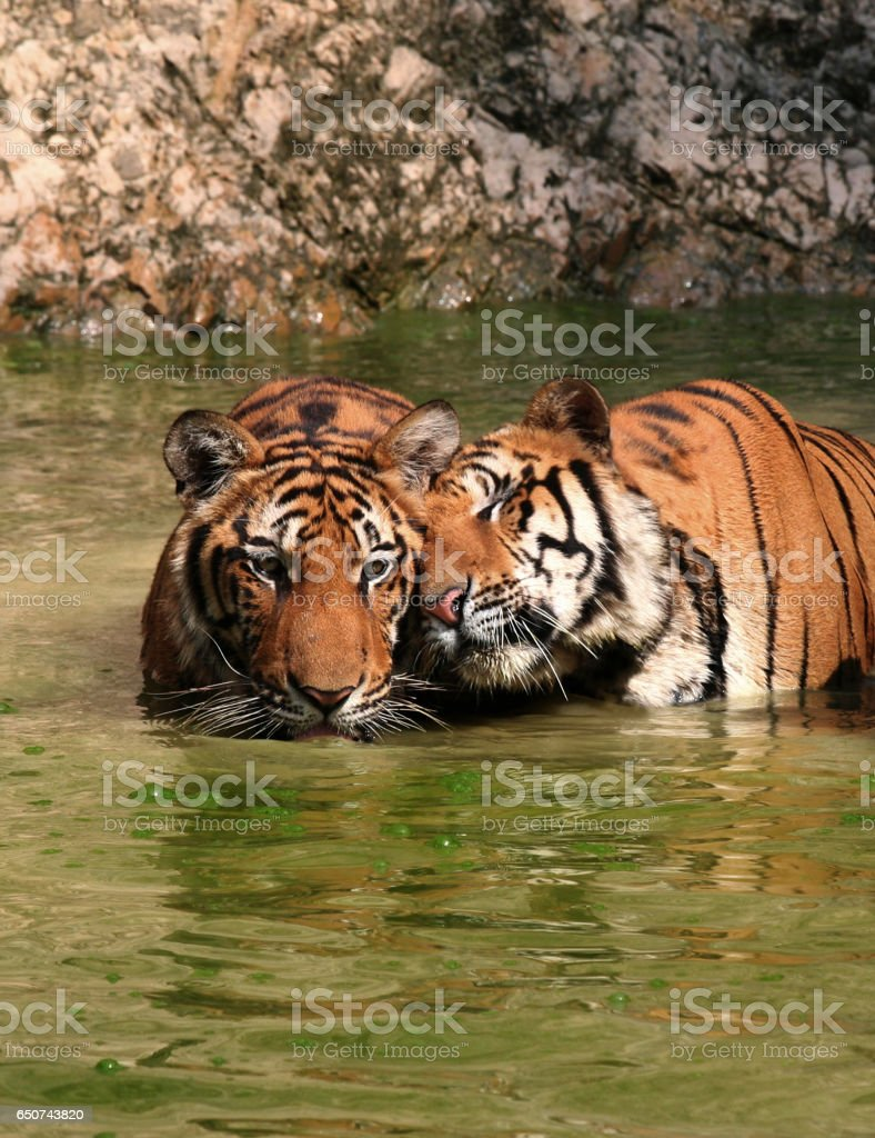 Tiger Love and tenderness. stock photo