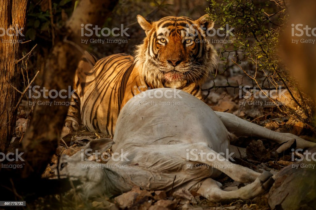 Tiger male eating the cow in the jungle stock photo