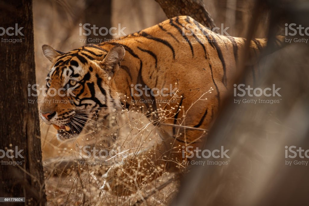 Tiger male in the dry forest stock photo