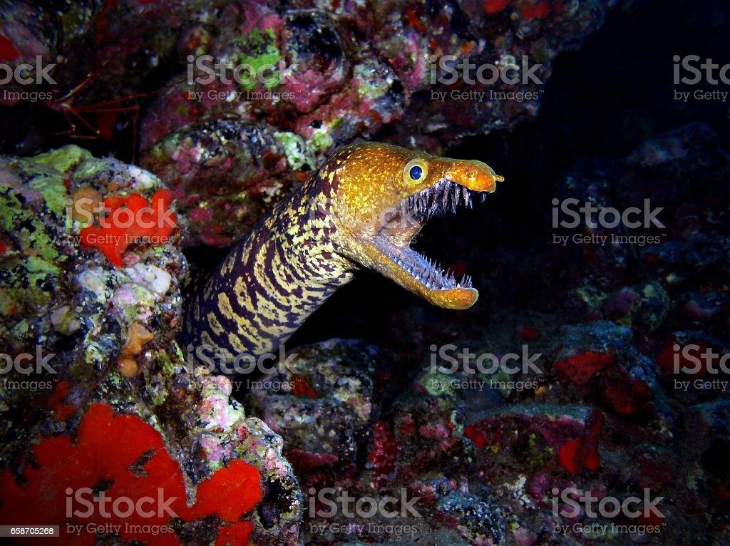 Tiger moray stock photo