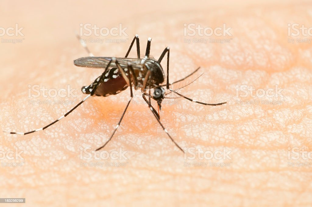 tiger mosquito stock photo