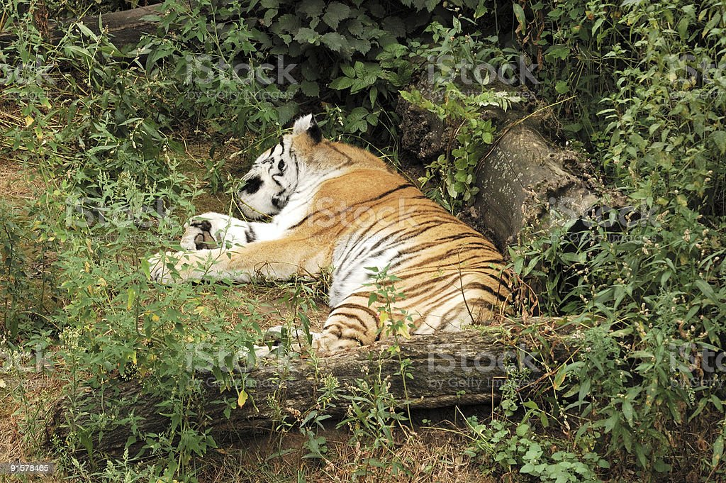 Tiger on rest. royalty-free stock photo
