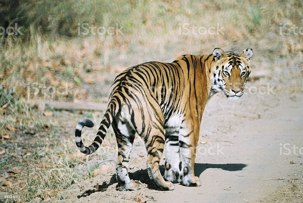 tiger on road royalty-free stock photo
