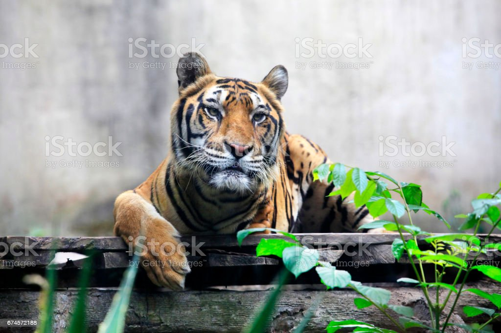 tiger once got in a trap and lost a paw now lives stock photo