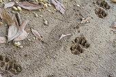 Tiger or Cat foot step on mud